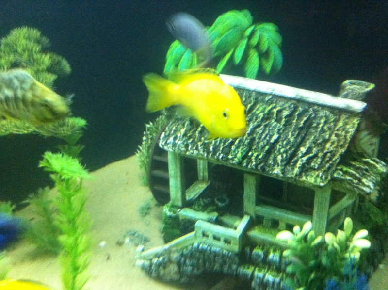 (BIG SALE) North America and south America and Malawi cichlid Img_1213