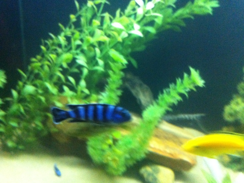 (BIG SALE) North America and south America and Malawi cichlid Img_1214