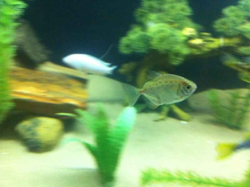 (BIG SALE) North America and south America and Malawi cichlid Img_1215