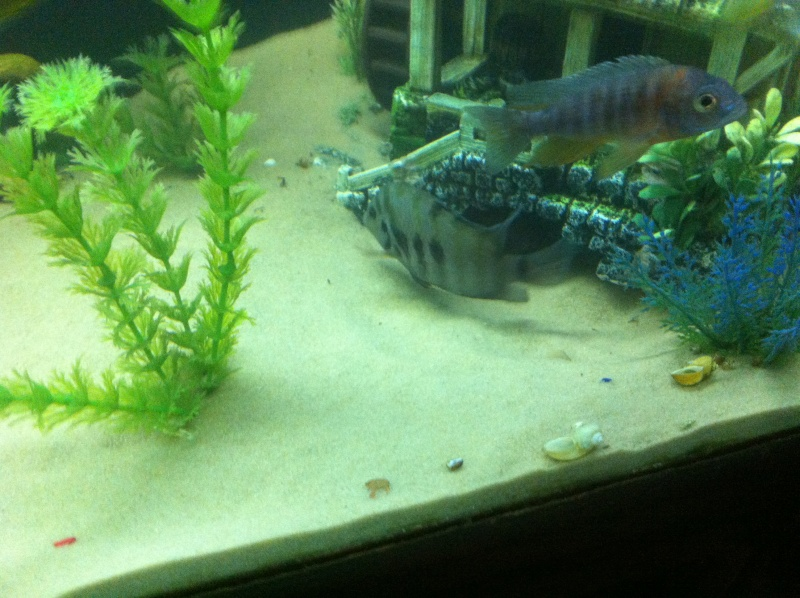 (BIG SALE) North America and south America and Malawi cichlid Img_1216