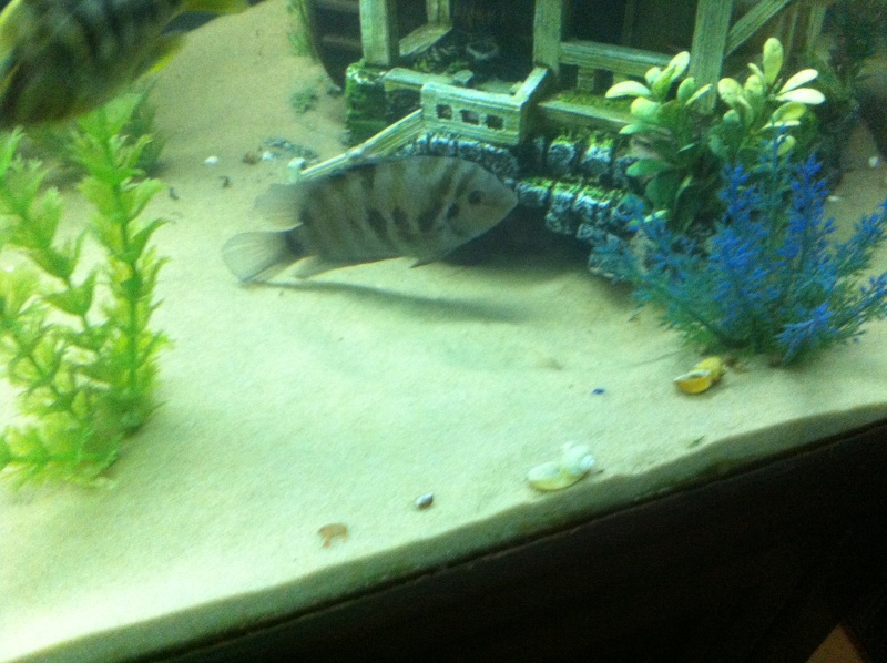 (BIG SALE) North America and south America and Malawi cichlid Img_1217