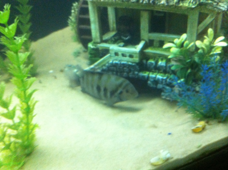 (BIG SALE) North America and south America and Malawi cichlid Img_1218