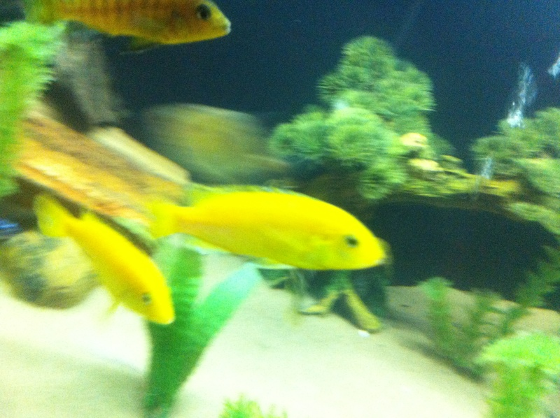 (BIG SALE) North America and south America and Malawi cichlid Img_1219