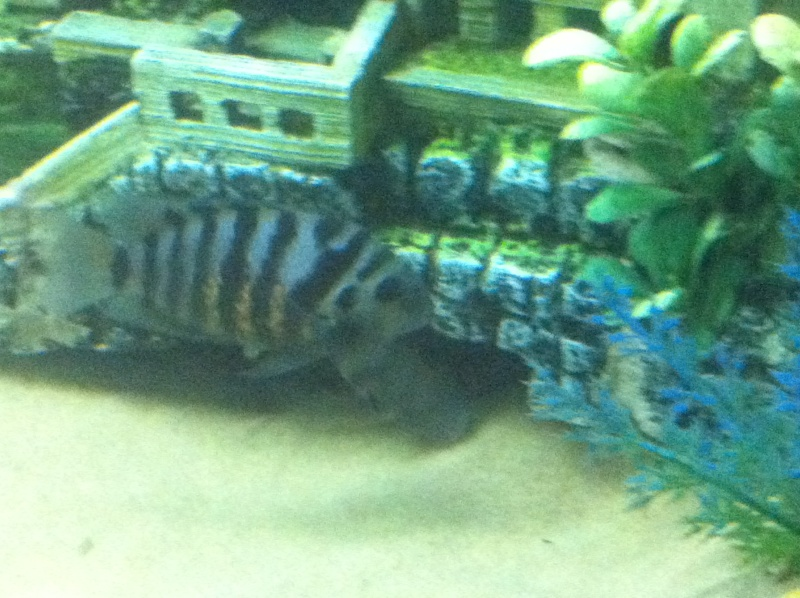 (BIG SALE) North America and south America and Malawi cichlid Img_1221