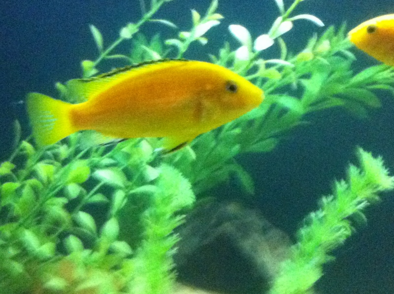 (BIG SALE) North America and south America and Malawi cichlid Img_1227