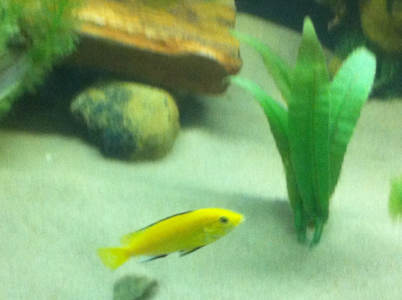 (BIG SALE) North America and south America and Malawi cichlid Img_1228