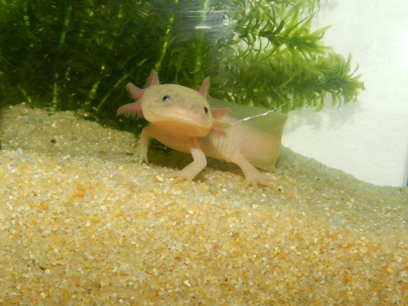 Mon Axolotl Dscn8724