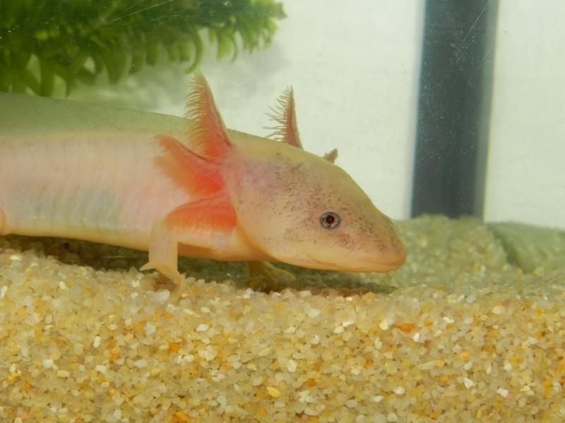 Mon Axolotl Dscn8725