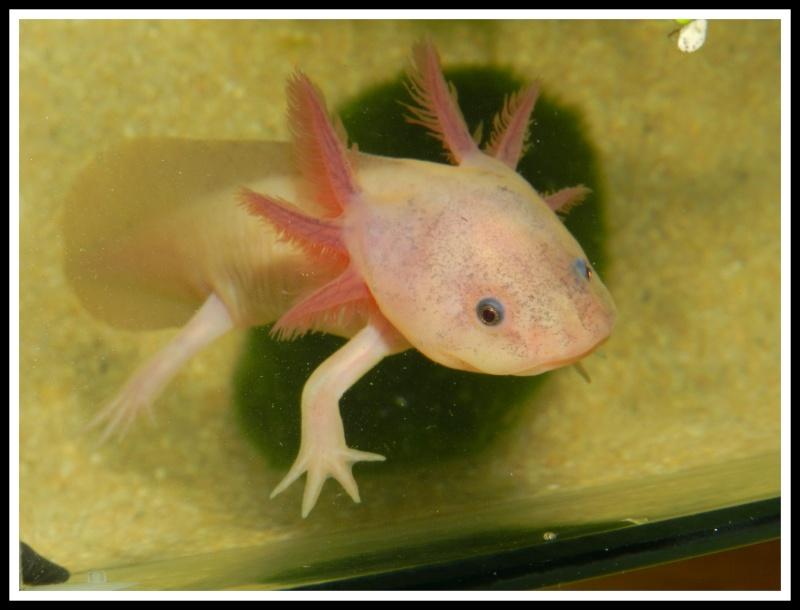 Mon Axolotl Dscn8726