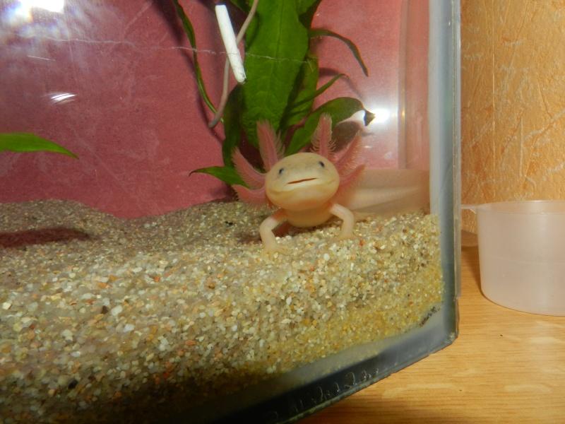 Mon Axolotl Dscn8910