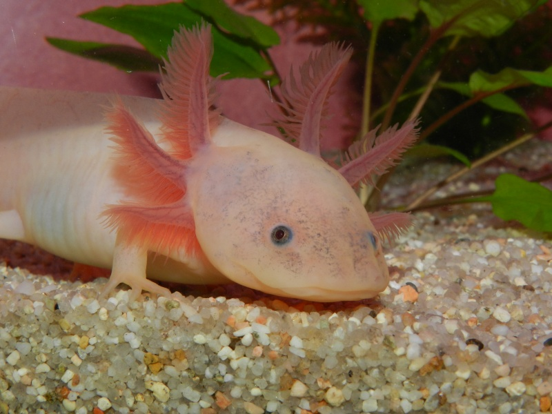 Mon Axolotl Dscn8911