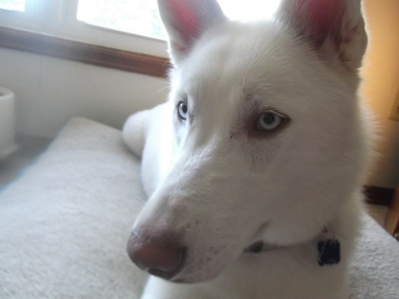 All white huskies, then and now pics please! 01710