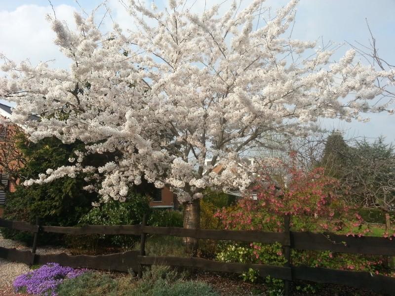 Prunus 20140317
