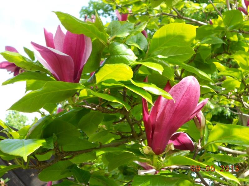 Magnolia - Magnolien - Seite 2 Dscn1710