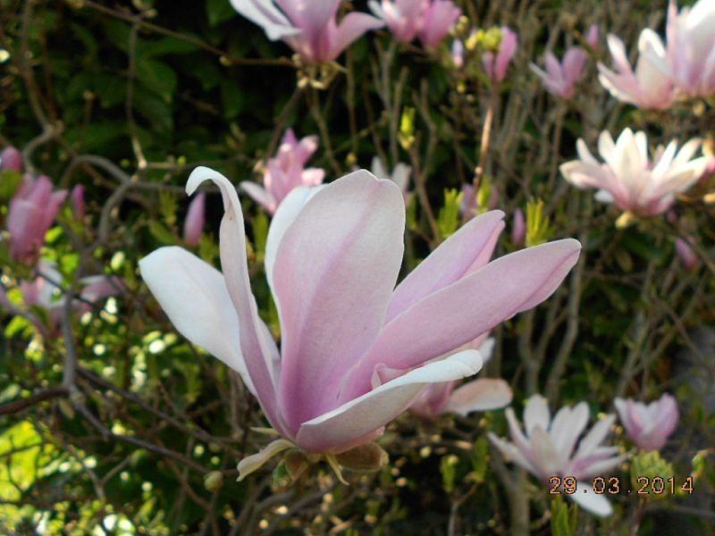 Magnolia - Magnolien - Seite 2 Dscn3240