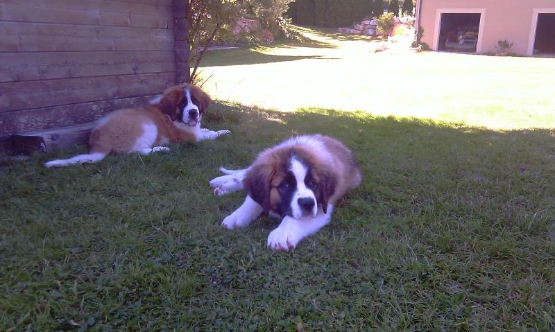 Igor et Iris mes deux St Bernard ! Imag0110