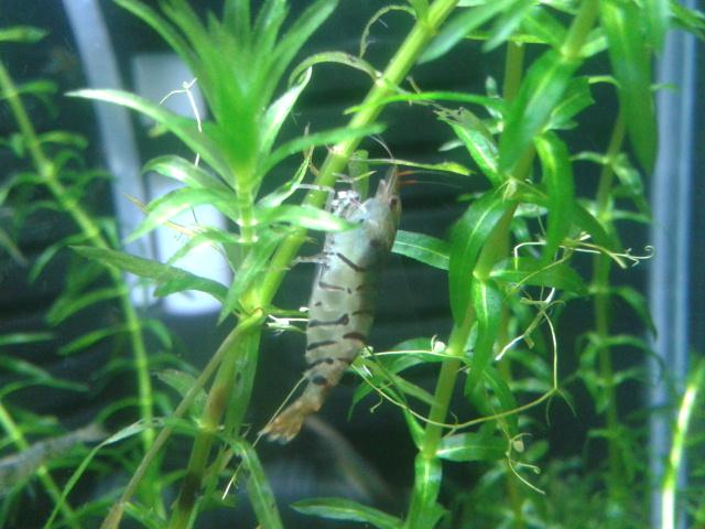 Gozgull Shrimp's - Page 2 2013-126