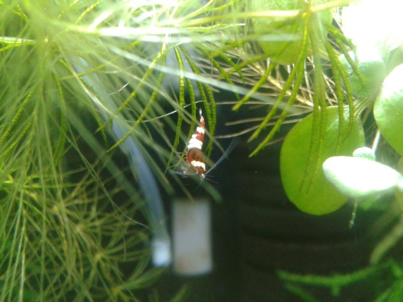 Gozgull Shrimp's - Page 4 2013-158