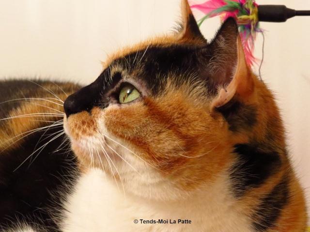 TCHOUPI femelle tricolore - 8 ans Tchoup25
