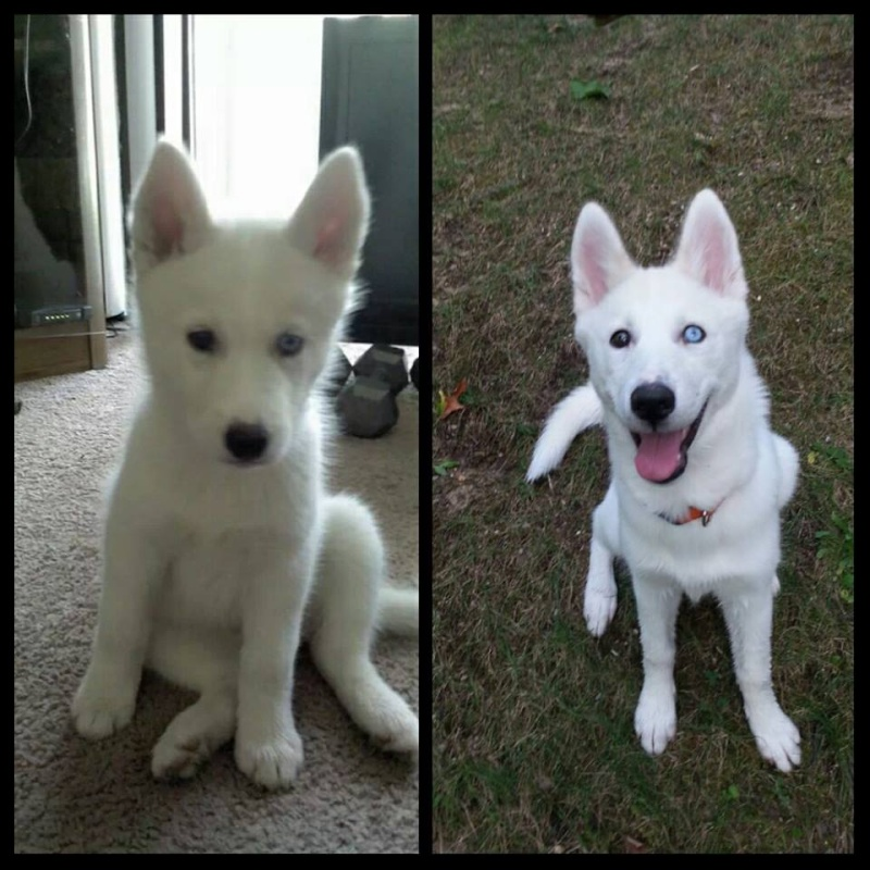 All white huskies, then and now pics please! 13839812