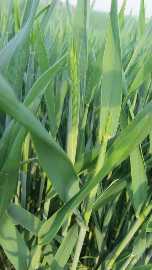 semis de blé 2013-2014 - Page 3 0145