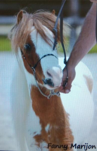 Skipper, cheval miniature américain. A4a0kx12