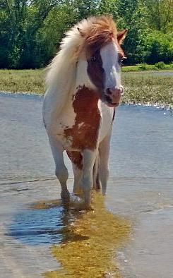 Skipper, cheval miniature américain. Kjk911