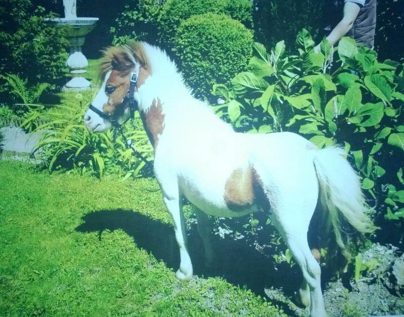 Skipper, cheval miniature américain. Wp_20180