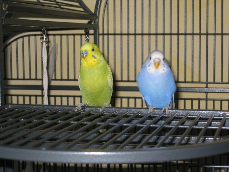 Mes perruches  Perruc11