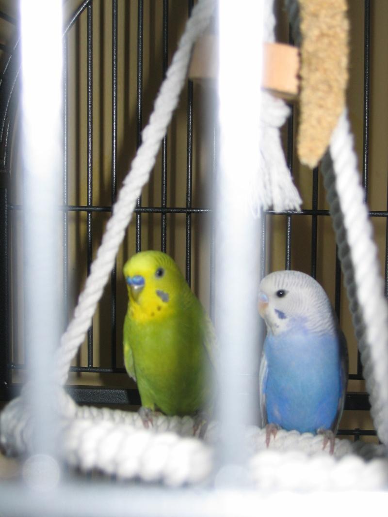 Mes perruches  Perruc16
