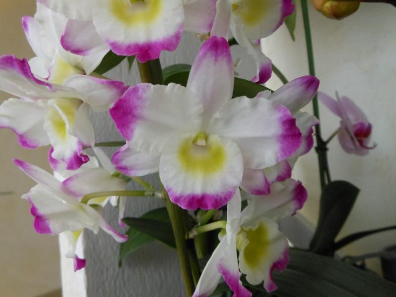 Dendrobium Nobile Irene Smile Irene_10