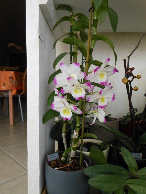 Dendrobium Nobile Irene Smile Irene_11