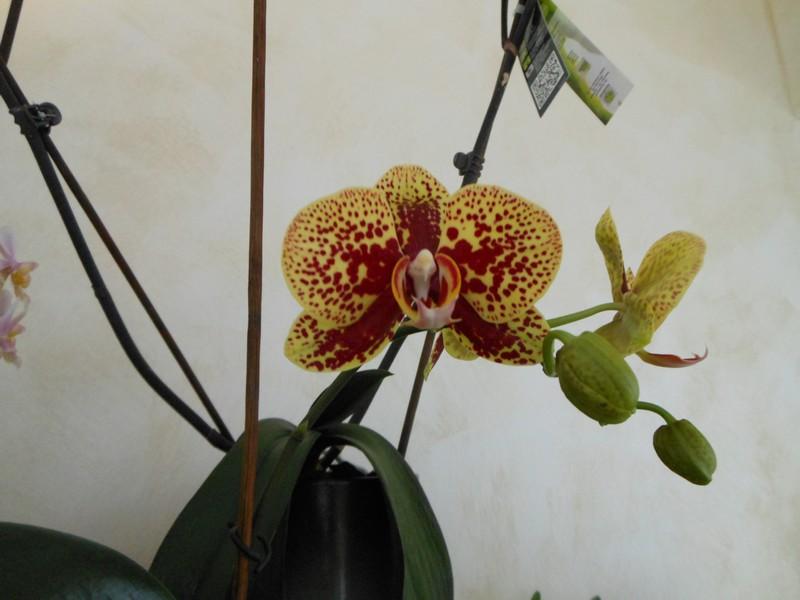 Phalaenopsis Elegant Charms Phal_e11