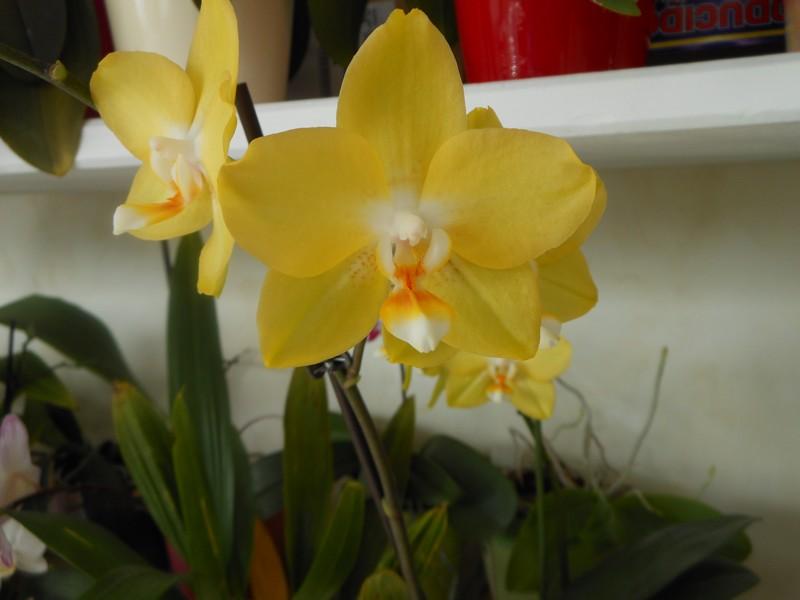 Phalaenopsis I-hsin  Sunflower Phal_i10