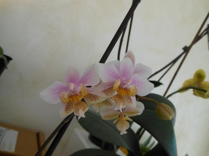 Phalaenopsis Wiganiae - Page 2 Phal_p10