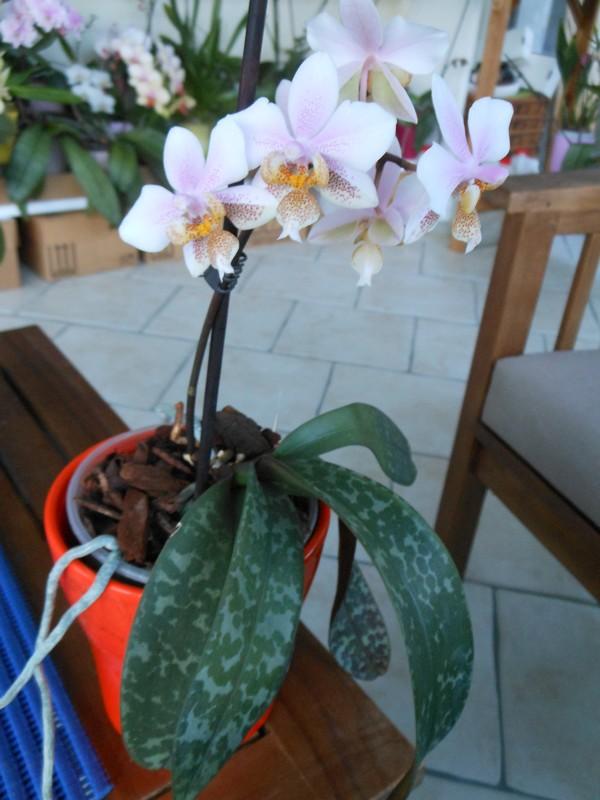 Phalaenopsis Wiganiae Phal_p11