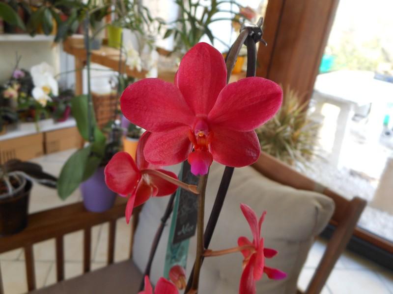 Phalaenopsis Piccolo Red Phal_p12