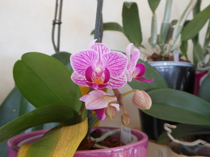 Phalaenopsis Sogo Vivien Phalae10