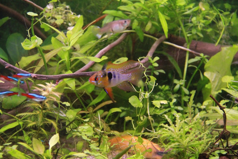 Présentation de mon aquarium (240L) Img_6411