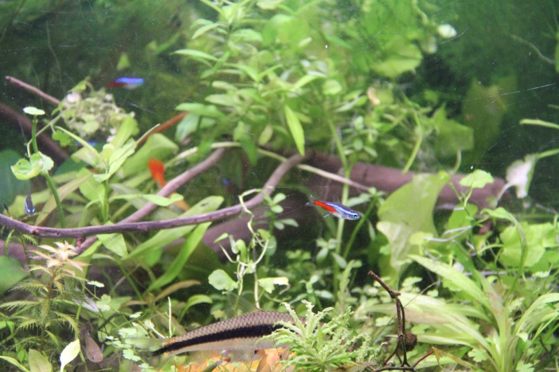 Présentation de mon aquarium (240L) Img_6415