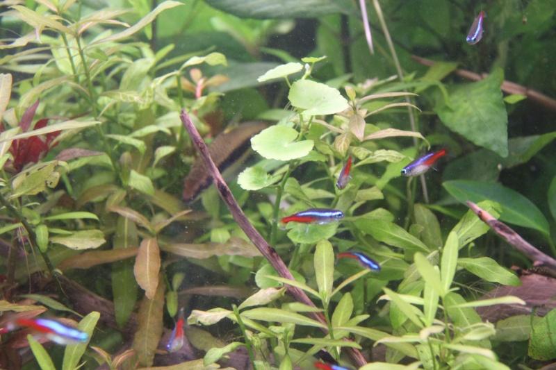 Présentation de mon aquarium (240L) Img_6427