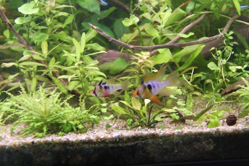 Présentation de mon aquarium (240L) Img_6431