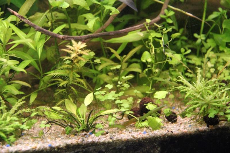 Présentation de mon aquarium (240L) Img_6518