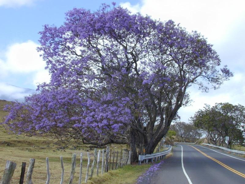 floraison précoce d'un jacaranda 13996910