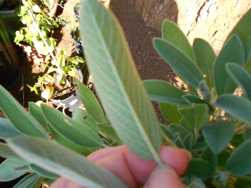 identifier cette plante Dscn1517