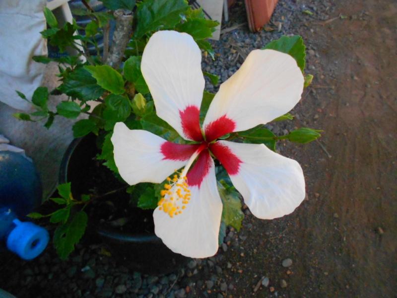 hibiscus en fleur Dscn1519