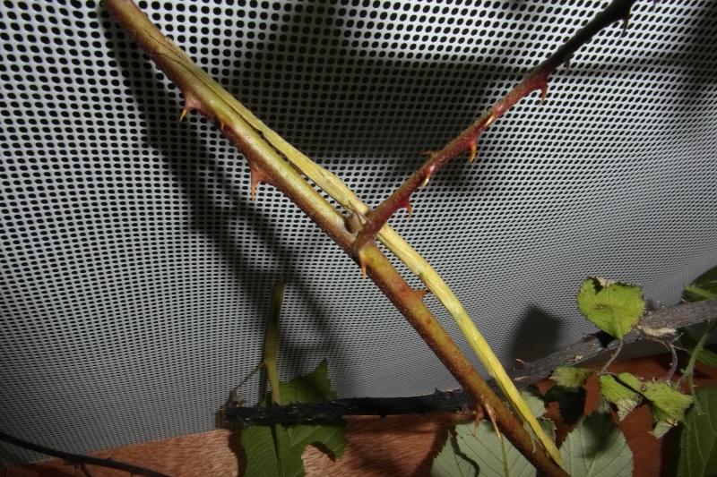 Carausius morosus (psg°1) : Ma première espèce de phasme Sam_0110