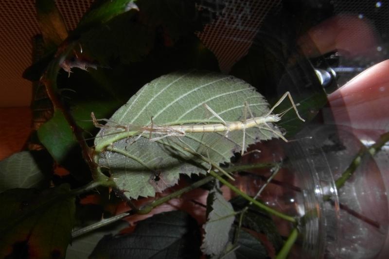 Carausius morosus (psg°1) : Ma première espèce de phasme Sam_0111