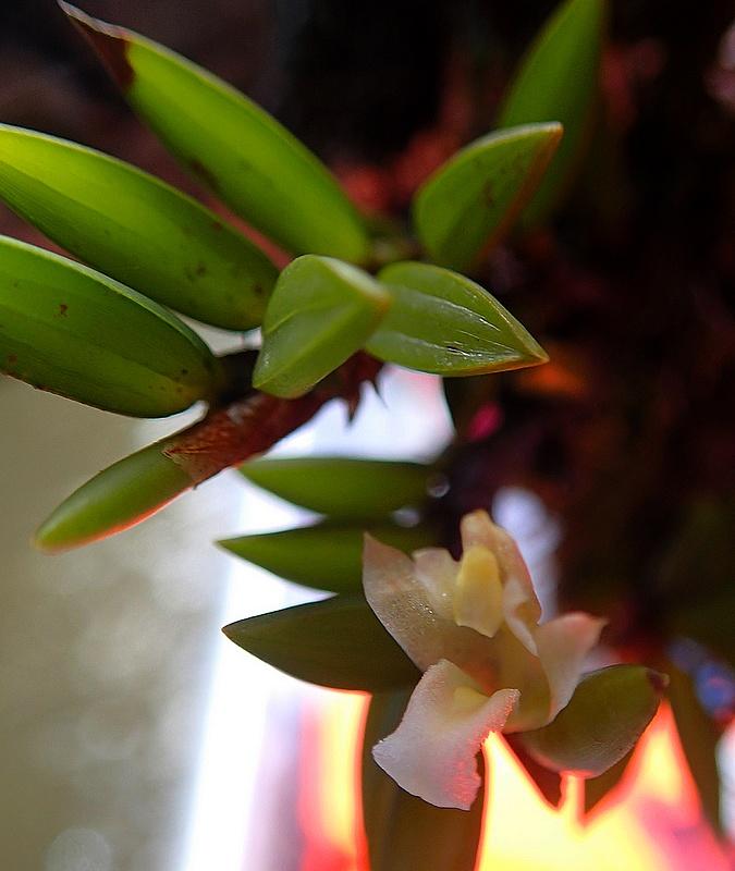 maxillaria uncata 04210