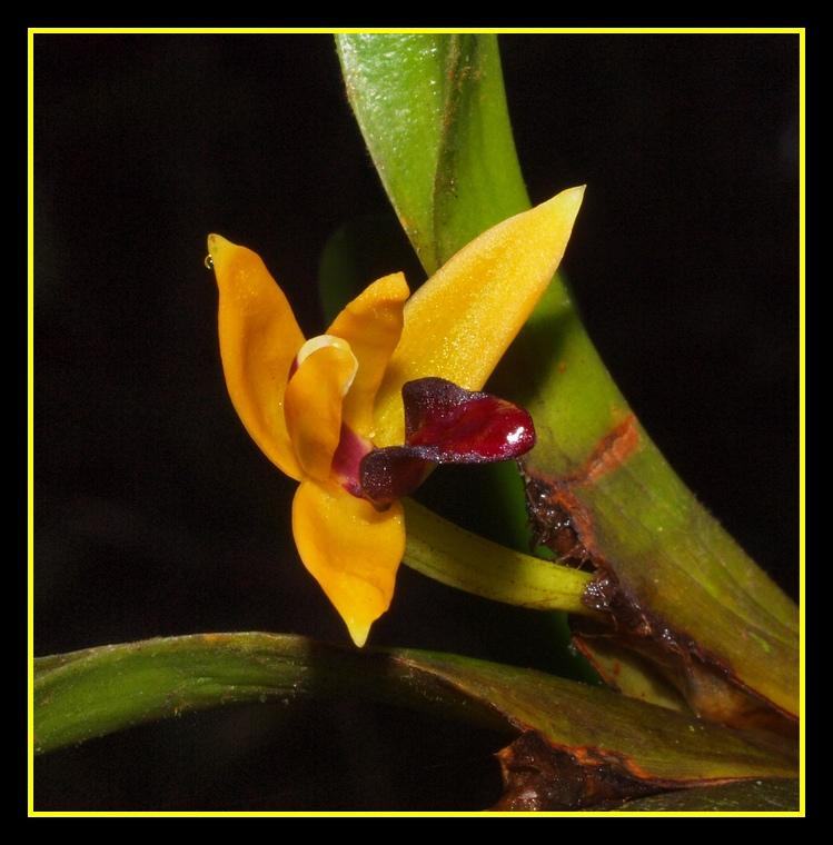 maxillaria superflua 04510